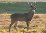White-tailed Deer; buck