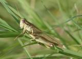 Melanoplus yarrowii; Yarrow's Grasshopper; male