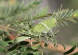Schistocerca nitens; Gray Bird Grasshopper nymph