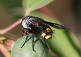 Belvosia Tachinid Fly species