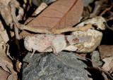 Lactista azteca; Aztec Grasshopper; female