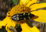 Acmaeodera amabilis; Metallic Wood-boring Beetle species