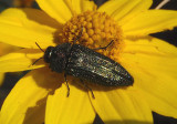 Acmaeodera resplendens; Metallic Wood-boring Beetle species