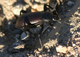 Eleodes obscurus; Desert Stink Beetle species