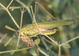 Scudderia mexicana; Mexican Bush Katydid; female