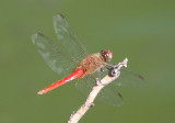 Brachymesia furcata; Red-tailed Pennant; male