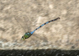 Anax walsinghami; Giant Darner; male