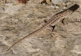 Common Side-blotched Lizard; female