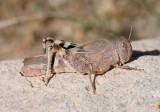 Leprus wheeleri; Wheeler's Blue-winged Grasshopper; female