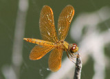 Perithemis intensa; Mexican Amberwing; male