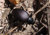 Eleodes carbonarius; Desert Stink Beetle species