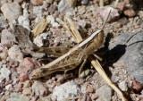 Rhammatocerus viatorius; Traveller Grasshopper; nymph