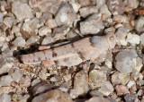 Cibolacris parviceps; Cream Grasshopper