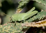 Schistocerca Bird Grasshopper species; nymph
