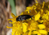 Mordella Tumbling Flower Beetle species