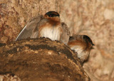 Cave Swallows