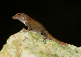 Yellow-chinned Anole