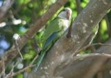 Monk Parakeet; exotic