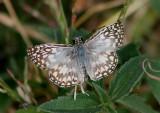Pyrgus oileus; Tropical Checkered-Skipper; male