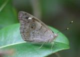 Eunica monima; Dingy Purplewing