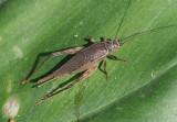 Tree Cricket species