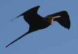 Magnificent Frigatebird; male