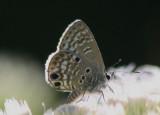 Cyclargus thomasi woodruffi; Miami Blue