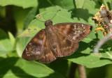 Ephyriades arcas; Caribbean Duskywing; female