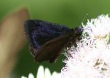 Ephyriades arcas; Caribbean Duskywing; male