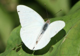 Glutophrissa drusilla; Florida White