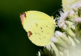 Pyrisitia leuce antillarum; Leuce Yellow; female