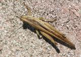 Schistocerca Bird Grasshopper species