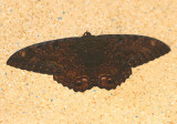 Ascalapha odorata; Black Witch; male