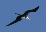 Magnificent Frigatebird; immature