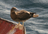 Brown Booby; immature