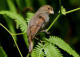 Lesser Antillean Bullfinch; female