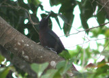 Guadeloupe Woodpecker; endemic