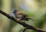 Black-faced Grassquit; young male