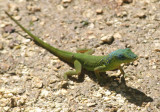 Barbados Anole; endemic