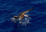 Brown Booby with Flying Fish