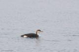 Parelduiker / Black-throated Loon