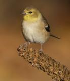 goldfinch 67