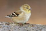 goldfinch 68