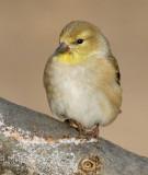 goldfinch 69