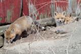 fox cub 50