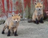 fox cub 51