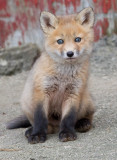 fox cub 52