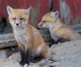 fox cub 57