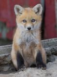 fox cub 58