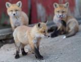 fox cub 61